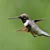 Black-chinned Hummingbird<br /> Estero Llano Grande State Park, Weslaco