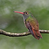 Buff-bellied Hummingbird<br /> Valley Nature Center, Weslaco