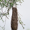 Completed Altamira Oriole nest<br /> Bentsen-Rio Grande Valley State Park, Mission
