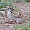 Lark Sparrow<br /> Estero Llano Grande State Park, Weslaco