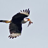 Crested Caracara<br /> Bentsen-Rio Grande Valley State Park, Mission