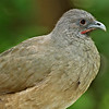 Plain Chachalaca<br /> Valley Nature Center, Weslaco