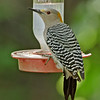 Golden-fronted Woodpecker, female<br /> Valley Nature Center, Weslaco