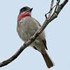 Rose-throated Becard<br /> Estero Llano Grande State Park, Weslaco