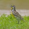 Eastern Meadowlark<br /> Estero Llano Grande State Park, Weslaco