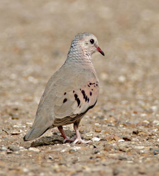 Common Ground Dove<br /> Estero Llano Grande State Park, Weslaco