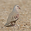 Common Ground Dove<br /> Estero Llano Grande State Park, Weslaco