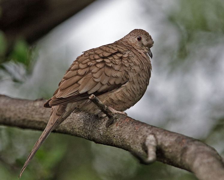 Inca Dove<br /> Valley Nature Center, Weslaco