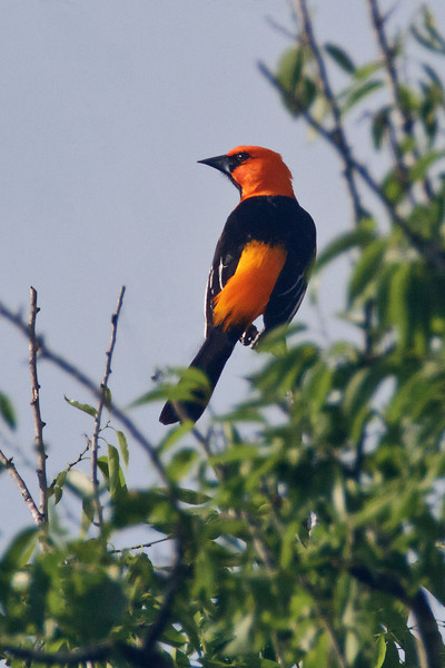 Altamira Oriole, male<br /> Bentsen-Rio Grande Valley State Park, Mission