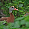 Black-bellied Whistling-Duck<br /> Valley Nature Center, Weslaco