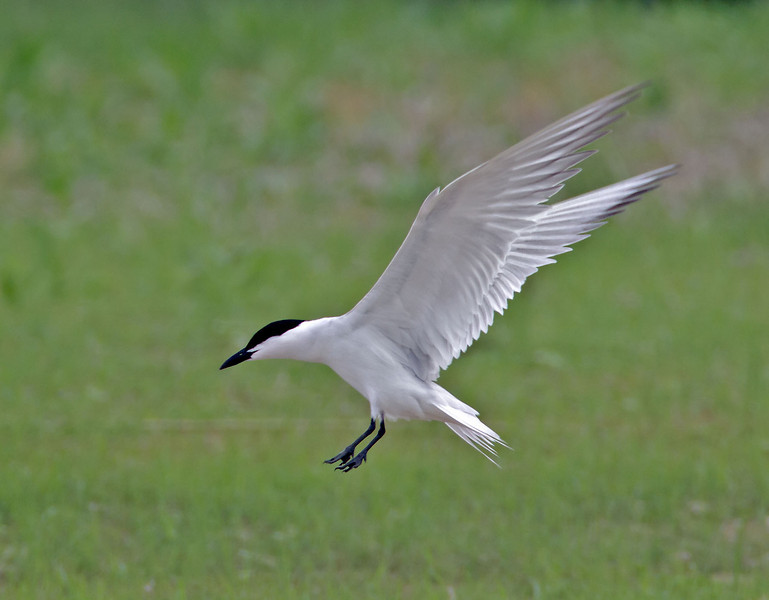 Gull-billed Tern<br /> Estero Llano Grande State Park, Weslaco