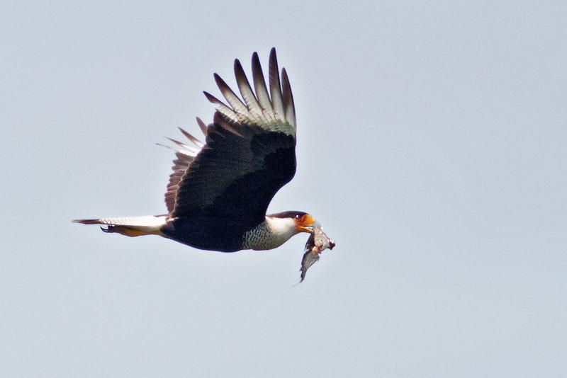 Crested Caracara<br /> Bentsen-Rio Grande Valley State Park, Mission