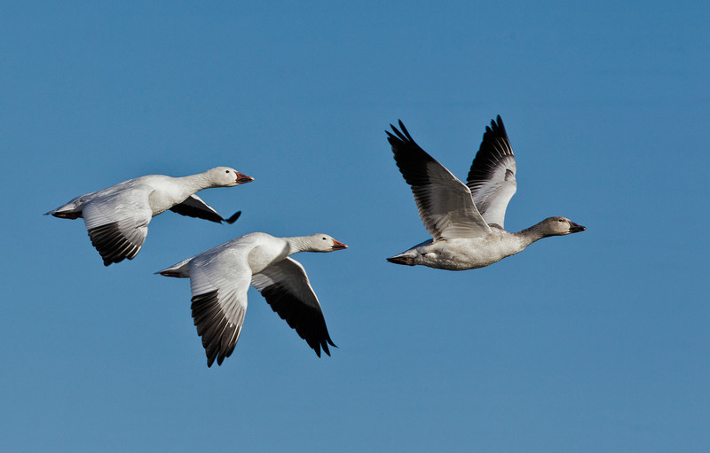 SNOW GOOSE<br /> 2 adults and 1 juvenile