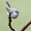 Blue-gray Gnatcatcher, male
