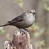 Brown Cowbird, female