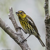 CAPE MAY WARBLER<br /> Magee Marsh - Oak Harbor, OH