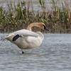 TRUMPETER SWAN<br /> Magee Marsh - Oak Harbor, OH