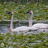 TRUMPETER SWANS<br /> Magee Marsh - Oak Harbor, OH