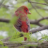 SUMMER TANAGER<br /> Magee Marsh - Oak Harbor, OH