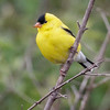 AMERICAN GOLDFINCH<br /> Magee Marsh - Oak Harbor, OH