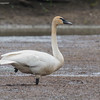 TRUMPETER SWAN<br /> Camp Sabroske - Oak Harbor, OH