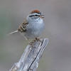 CHIPPING SPARROW<br /> South Llano River State Park