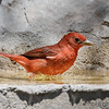 MALE SUMMER TANAGER<br /> South Llano River State Park