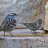 WHITE-CROWNED SPARROW AND PINE SISKIN<br /> South Llano River State Park