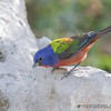 MALE PAINTED BUNTING<br /> South Llano River State Park
