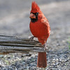 MALE NORTHERN CARDINAL<br /> South Llano River State Park