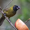 FEMALE CRIMSON-COLLARED GROSBEAK<br /> Sabal Palm Sanctuary, Brownsville