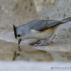 BLACK-CRESTED TITMOUSE<br /> South Llano River State Park