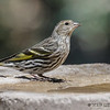 PINE SISKIN<br /> South Llano River State Park