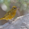 FEMALE SUMMER TANAGER<br /> South Llano River State Park