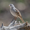 WHITE-CROWNED SPARROW<br /> South Llano River State Park