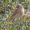 FEMALE NORTHERN CARDINAL<br /> South Llano River State Park