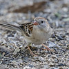 FIELD SPARROW<br /> South Llano River State Park