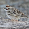 LARK SPARROW<br /> South Llano River State Park