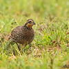 FEMALE NORTHERN BOBWHITE