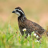 MALE NORTHERN BOBWHITE