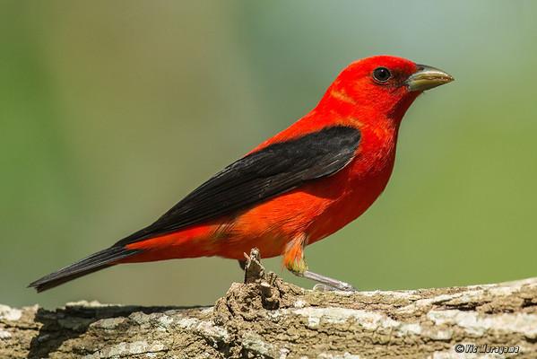 LOWER TEXAS COAST - SONGBIRDS