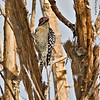 Ladder-backed Woodpecker<br /> Dave White Golf Course