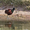 Northern Jacana<br /> Dave White Golf Course