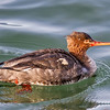 RED-BREASTED MERGANSER<br /> female<br /> Yaquina Bay, Newport, OR.