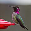 ANNA'S HUMMINGBIRD<br /> male<br /> Woodburn, OR