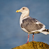 GLAUCOUS-WINGED GULL<br /> Yaquina Bay, Newport, OR.