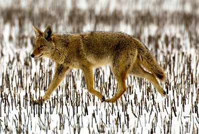 Coyote in a snowy field near Mansfield, Washington.