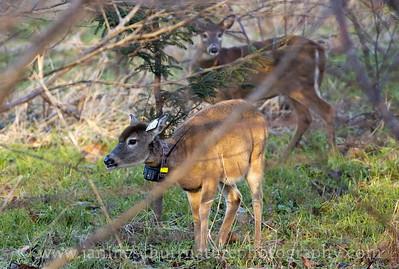 Endangered Columbian White-tailed Deer by Steamboat Slough Road in the Julia Butler Hansen Refuge for the Columbian White-tailed Deer near Cathlamet, Washington.