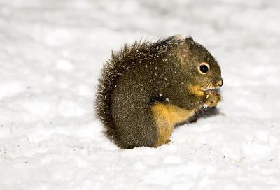 First year Douglas Squirrel getting used to snow.  Photo taken near Bremerton, Washington.