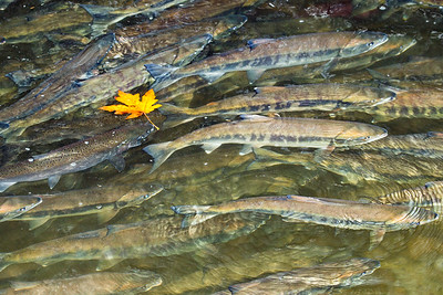 Chum and Chinook Salmon migrating to their spawning grounds.  Photo taken by Chico Creek near Bremerton, Washington.